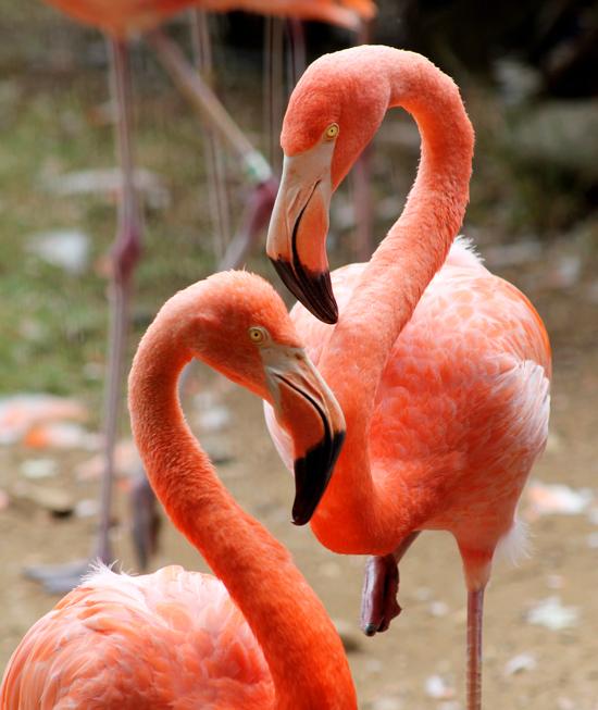 flamingos_002